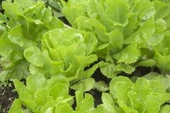 Свежий салат - Lactuca Ла sativa Стоковые Фото