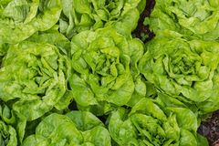 Свежий салат растя в огороде Стоковые Изображения RF