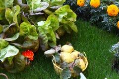 Свежий салат растя на траве в саде Стоковое Изображение RF