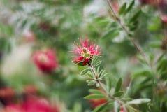 Свежий сад весны с красным цветком против детенышей весны цветка принципиальной схемы предпосылки белых желтых Стоковая Фотография