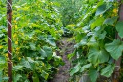 Свежий сад огурцов Стоковая Фотография RF