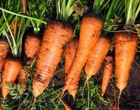Свежий сбор моркови стоковое фото