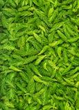 Свежий скомплектовал зеленые елевые всходы стоковая фотография rf