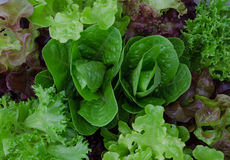 Свежий смешанный зеленый и фиолетовый конец салата вверх Стоковые Изображения
