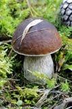 Свежий съестной гриб Стоковые Фотографии RF