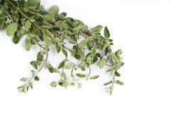 свежий тимиан листьев Стоковое Изображение