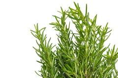 свежий тимиан травы Свежий органический расти заводов тимиана flavoring стоковые изображения