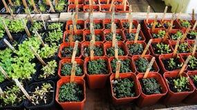 свежий тимиан трав Стоковые Фотографии RF