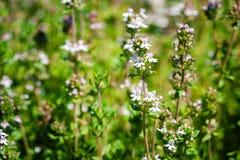 свежий тимиан трав Стоковая Фотография
