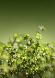свежий тимиан Стоковые Фотографии RF