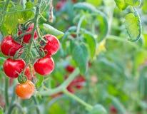 свежий томат померанцового красного цвета Стоковое Изображение