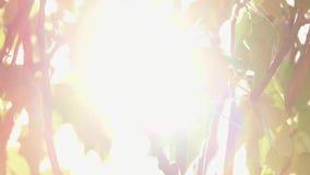 Свежий тополь выходит в свет задней части видеоматериал