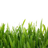 Свежий толстый крупный план травы Стоковая Фотография RF