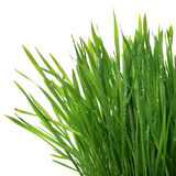 Свежий толстый крупный план травы Стоковое фото RF