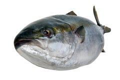 Свежий тунец Стоковая Фотография RF