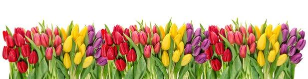 Свежий тюльпан весны цветет знамя падений воды флористическое Стоковое Изображение