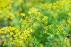 Свежий фенхель & x28; dill& x29; зацветать в саде Стоковая Фотография RF