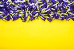 Свежий фиолетовый цветок гороха бабочки на желтой предпосылке еда или Стоковые Фото