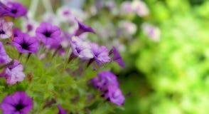 Свежий фиолетовый цветок весны Стоковая Фотография RF