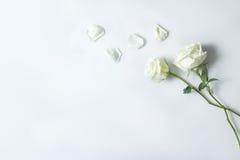 Свежий цветок белой розы на белой предпосылке, курорте экземпляра предпосылки Стоковые Изображения RF