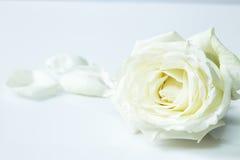 Свежий цветок белой розы на белой предпосылке Стоковые Фотографии RF