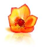 Свежий цветок красной весны Стоковые Фотографии RF