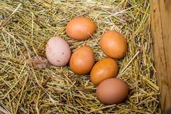 Свежий цыпленок eggs с гнездом, кучей a коричневых яичек в гнезде Стоковые Изображения RF