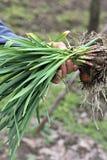 Свежий чеснок весны Стоковая Фотография