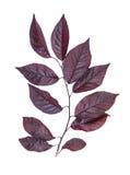Свежий, яркий красный цвет выходит изолированные сливы, на белую предпосылку выходит красный цвет Красивая ветвь с красными листь Стоковые Фотографии RF
