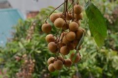 Свежий longan в саде, естественном стоковые изображения