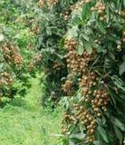 Свежий longan на дереве Стоковое Изображение