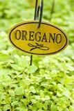 свежий oregano травы Стоковые Фотографии RF