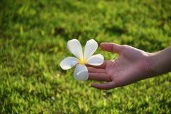 Свежий plumeria в руке Стоковое Фото