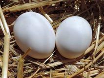 2 свежих белых яичка цыпленка Стоковое фото RF