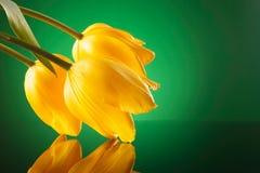 3 свежих желтых тюльпана полагаясь на зеркале Стоковое фото RF