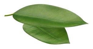 2 свежих зеленых листь оранжевых цитрусовых фруктов на белизне Стоковые Изображения