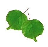 2 свежих зеленых изолированного листь Стоковая Фотография RF