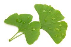 2 свежих листь гинкго Стоковые Фотографии RF