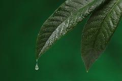 2 свежих листь Стоковое Изображение RF
