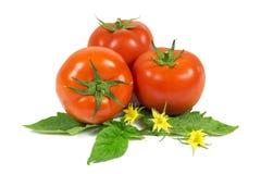 3 свежих красных томата на зеленых листьях при желтые цветки изолированные на белизне Стоковая Фотография