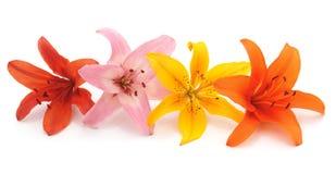 4 свежих лилии стоковое изображение