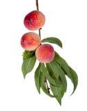 3 свежих персика с листьями на изолированной ветви, Стоковое Фото