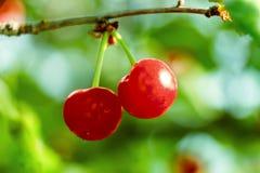 2 свежих сочных зрелых вишни на ветви конце-вверх outdoors Красивая вишня на салатовой естественной предпосылке лета Стоковое Изображение