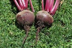 2 свежих шарика бураков vegetable на лужайке Стоковые Фотографии RF