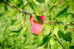 2 свежих яблока на зеленой ветви Стоковые Фото