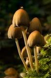 Сверкать грибы Inkcap Стоковая Фотография RF