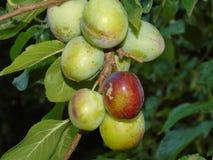 Сверкать деревья с ягодами в Parkland Хартфордшира Стоковые Изображения RF