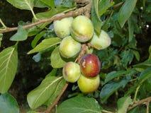 Сверкать деревья с ягодами в Parkland Хартфордшира Стоковые Изображения
