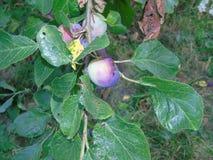 Сверкать деревья с ягодами в Parkland Хартфордшира Стоковое Изображение RF