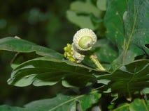 Сверкать жолудь в Parkland Хартфордшира Стоковые Фото